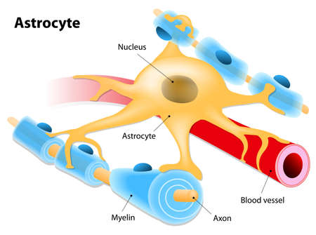 blood type: Astrocyte - a type of glial cell. Astrocyte in association with a blood vessel and neurons on a white background. Illustration