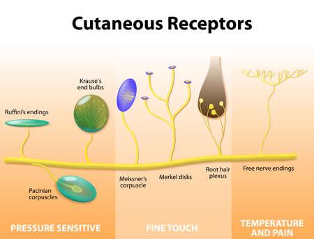 cellule nervose: Recettori cutanei. Recettori sensoriali della pelle umana. etichettati. Anatomia umana