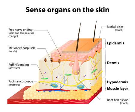 Sense organs on the skin. Skin layers and principal cutaneous receptors Vectores