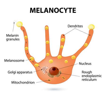 Melanocyte, melanin and melanogenesis. Melanocyte - melanin producing cells. Melanin is the pigment responsible for skin color Vector