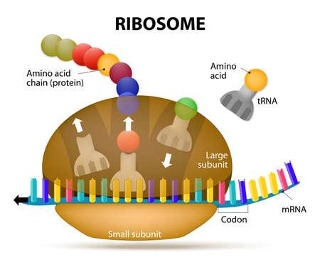 Ribosoom tijdens eiwitsynthese. De interactie van een ribosoom met mRNA. Proces van de initiatie van translatie Stock Illustratie