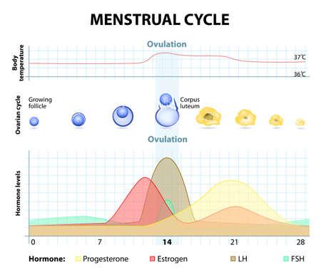 hormone: Menstruationszyklus. Zunahme und Abnahme der Hormone. Graph zeigt auch das Wachstum des Follikels