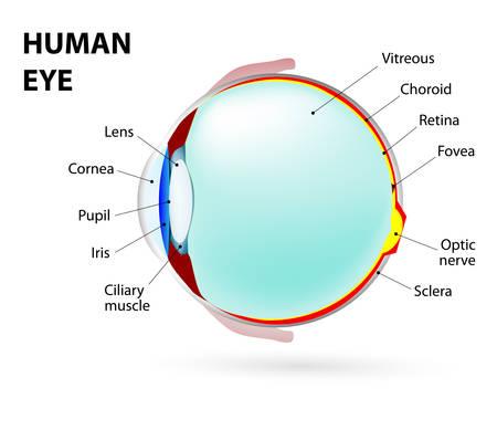 ojo humano: Diagrama esquemático del ojo.