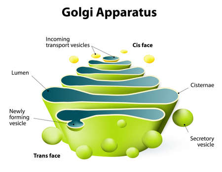 Golgi apparatus. Golgi Complex plays an important role in the modification and transport of proteins within the cell Vettoriali