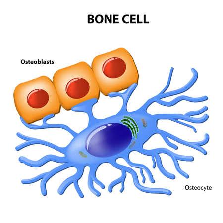 Benceller. osteoblaster och osteocyte. Illustration