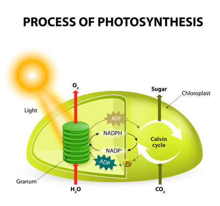 reaction: photosynthesis. Diagram of the process of photosynthesis, showing the light reactions and the Calvin cycle. photosynthesis by absorbing water, light from the sun, and carbon dioxide from the atmosphere and converting it to sugars and oxygen. Light reactio