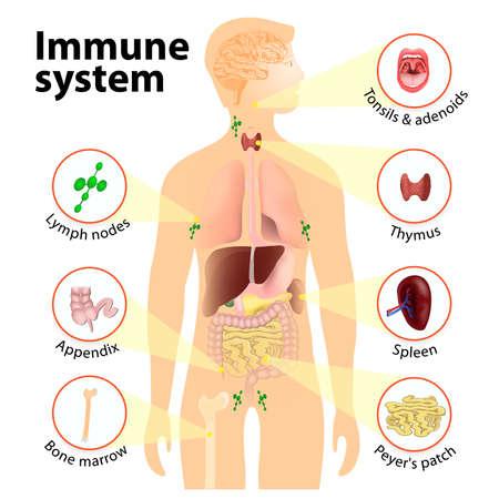Sistema inmune. Anatomía humana. Silueta humana con órganos internos.