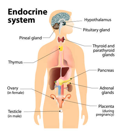 ovaires: syst�me endocrinien. Anatomie humaine. Silhouette humaine avec les organes internes mis en �vidence.