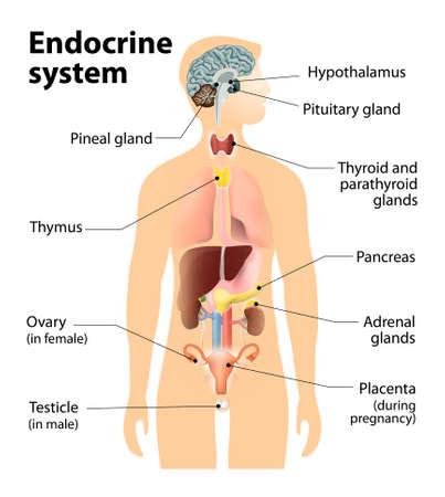 anatomie humaine: système endocrinien. Anatomie humaine. Silhouette humaine avec les organes internes mis en évidence.