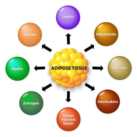 El tejido adiposo es un órgano endocrino que secreta numerosas hormonas proteicas, incluyendo leptina, la adiponectina, resistina, interleuquina, apelina, factor de necrosis tumoral y el estrógeno. Foto de archivo - 44302135