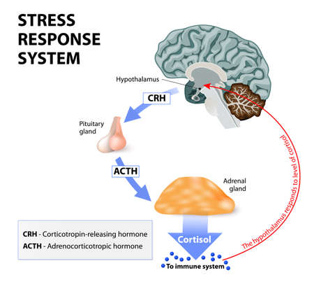 pituitary gland: Stress response system. Stress is a main cause of high levels of cortisol secretion. Cortisol is a hormone produced by the adrenal cortex.