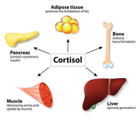 hormonas: Hormona cortisol y órganos humanos. funciones principales de cortisol en el cuerpo. Es hormona liberada en respuesta al estrés y la baja concentración de glucosa en sangre.