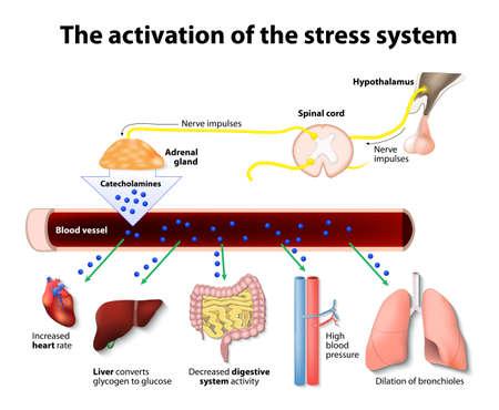 suprarrenales: La activación del sistema de estrés Vectores