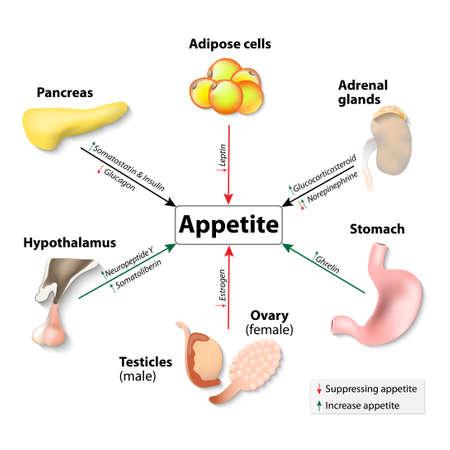 hormone: Hormone und Appetit. Menschliche Hormonsystem. Menschliche Organe und Hormone. Illustration