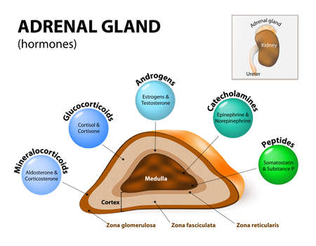Adrenal gland hormone secretion. Adrenal glands sit atop the kidneys and are composed of an outer cortex and an inner medulla, which produce different types of hormones. Human endocrine system
