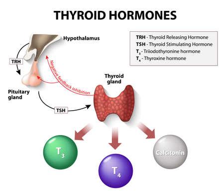 甲状腺ホルモン。人間の内分泌系。  イラスト・ベクター素材