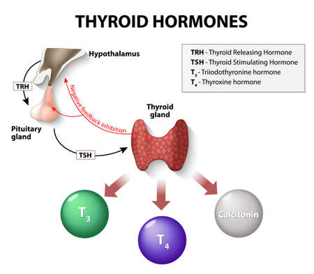 endocrine: thyroid hormones. Human endocrine system.