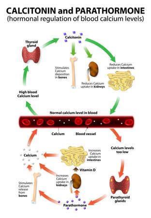 calcitonina y parathormona. Regulación hormonal de los niveles de calcio en la sangre. La regulación de los niveles de calcio en la sangre por la TC de la glándula tiroides y por PTH de las glándulas paratiroides. Demasiado calcio puede causar insuficiencia cardíaca, mientras que niveles bajos de calcio podrían ca