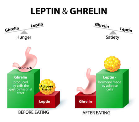 Ghrelin and leptin - hormones regulating appetite.  Leptin the satiety hormone. Ghrelin the hunger hormone. When ghrelin levels are high, we feel hungry. After we eat, ghrelin levels fall and we feel satisfied. Reklamní fotografie - 44961422