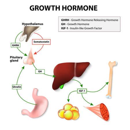 Groeihormoon (GH) of somatotropine afgescheiden door de hypofyse. Groeihormoon-releasing hormoon (GHRH) stimuleert de hypofyse om GH vrijgeven. De doelstelling van Groeihormoon: vetweefsel, lever, botten en spieren Stock Illustratie