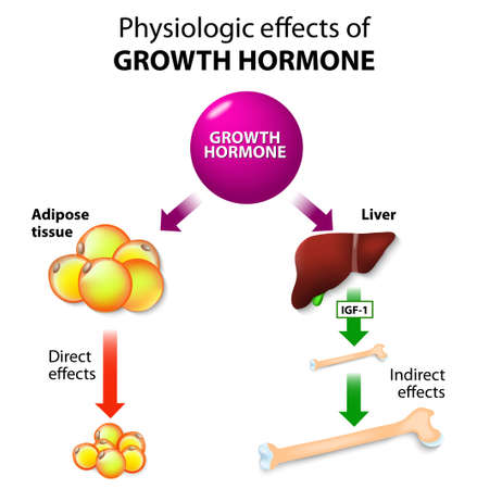 Physiologic Effects of Growth Hormone. Direct and indirect effects 向量圖像