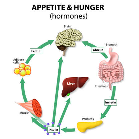 liver cells: Hormones appetite & hunger. Human endocrine system. Incretin, ghrelin, leptin and insulin