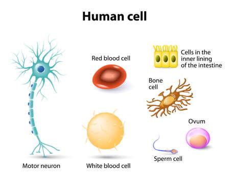 celulas humanas: anatomía humana. Motoneurona, glóbulos rojos y glóbulos blancos, células óseas, células de esperma y el óvulo, las células en el revestimiento interior del intestino. Set Vectores