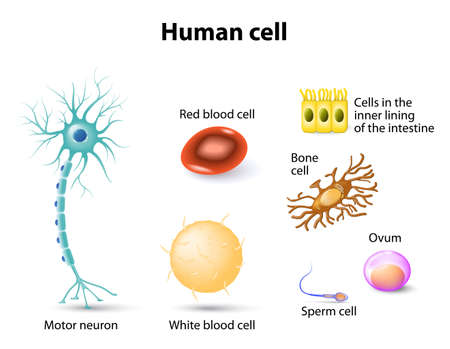 nerve: human anatomy. Motor neuron, Red blood cell and White blood cell, bone cell, sperm cell and ovum, cells in the inner lining of the intestine. Set