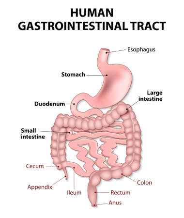 intestino: tracto gastrointestinal incluye todas las estructuras entre el esófago y el ano. Anatomía humana. Vectores