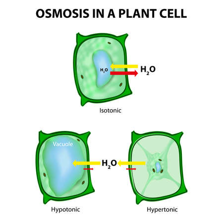 Osmosis in a Plant Cell. 3 types of tonicity: hypotonic, hypertonic, and isotonic. In a hypotonic environment, water enters a cell, and the cell swells. In a hypertonic solution, water leaves a cell and the cell shrinks. In an isotonic condition, the rela