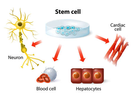 muscle cell: stem cell application. Using stem cells to treat disease Illustration