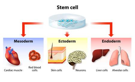 zelle: Stammzell-Applikation. Embryonale Herkunft der Gewebe und wichtigsten Organe. Entoderm, Mesoderm und Ektoderm. Erzeugung spezialisierten Geweben aus embryonalen Stammzellen und Aussichten für die Anwendung Illustration