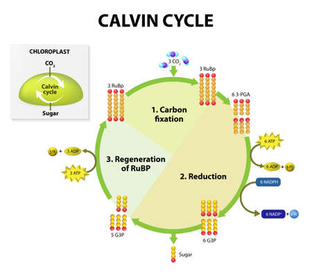 physiology: Photosynthesis. calvin cycle in chloroplast. Calvin cycle makes sugar from carbon dioxide. This diagram shows simplified representations of some of the molecules formed during the reactions. The plant can use the sugar to build other organic molecules. Ph