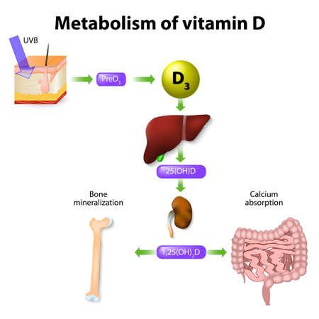metabolizmu witaminy D. syntezy witaminy D3 u ludzi zaczyna się w skórze Ilustracje wektorowe