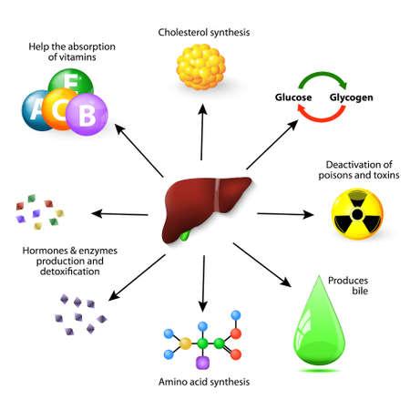 las funciones del hígado. El hígado juega un papel importante en el metabolismo con numerosas funciones en el cuerpo humano, incluyendo la desintoxicación de varios metabolitos, la síntesis de proteínas, aminoácidos y colesterol, la desactivación de los venenos y toxinas, produce la bilis, ayudar a la Ilustración de vector