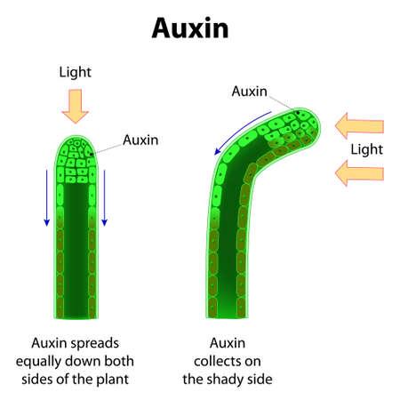 hormonas: Auxinas. hormonas vegetales para el desarrollo cuerpo de la planta.