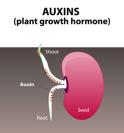 germinación: Auxinas. hormonas vegetales para el desarrollo cuerpo de la planta. granos de germinación de semillas. Vectores