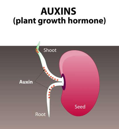 germination: Auxins. plant hormones for plant body development. Seed germination beans.