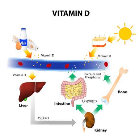 La vitamina D. Los alimentos contienen vitamina D. piel absorbe la radiación UVB solar y la síntesis de la vitamina D. La homeostasis del calcio y el metabolismo. Ilustración de vector