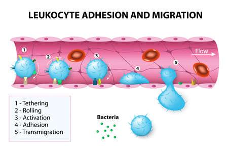 adhérence des leucocytes et la migration. Après activation par des agents chimiotactiques, les leucocytes changent de forme. Les leucocytes puis ramper et subissent une diapédèse en interagissant avec les molécules d'adhésion cellulaire endothéliale plaquettes.