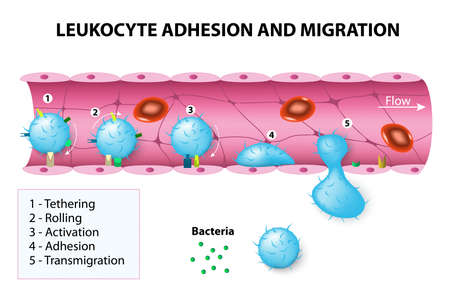 Leukocyte adhesion and migration. After activation by chemotactic agents, the leukocytes change shape. The leukocytes then crawl and undergo diapedesis by interacting with platelet-endothelial cell adhesion molecules.