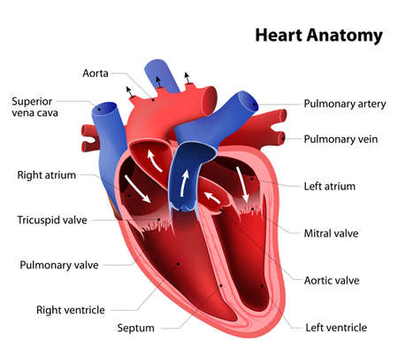 dessin coeur: anatomie cardiaque. Une partie du c?ur humain Illustration