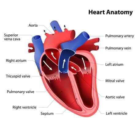 diagrama: la anatomía del corazón. Parte del corazón humano