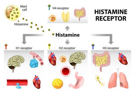 Histamine receptor. Function, target tissue and  organs. Histamine action 免版税图像 - 51686184
