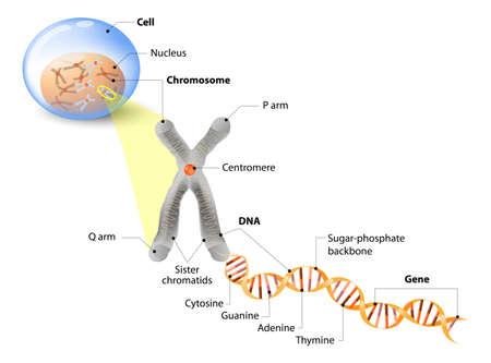 Célula, cromosoma, ADN y los genes. Estructura celular. La molécula de ADN es una doble hélice. Un gen es una longitud de ADN que codifica para una proteína específica. Estudio del genoma Ilustración de vector