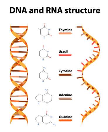 DNA 및 RNA 구조. 차이점들 일러스트