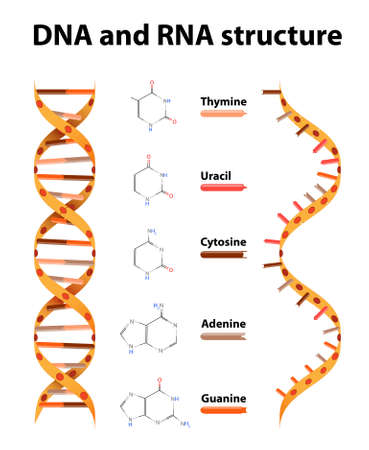 rna: DNA and RNA structure. differences