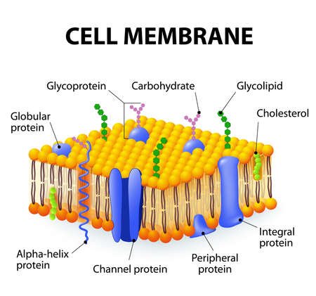 Cell membrane. A detailed diagram models of membrane Structure Ilustração
