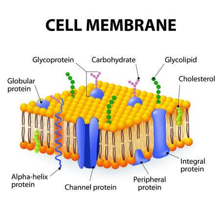Celmembraan. Een gedetailleerd schema modellen van membraanstructuur