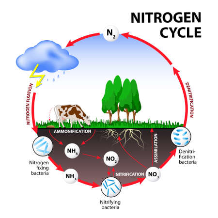Nitrogen cycle. The processes of the nitrogen cycle transform nitrogen from one form to another. Illustration of the flow of nitrogen through the environment.  イラスト・ベクター素材